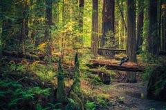 Odpoczywać na Redwood Zdjęcia Stock