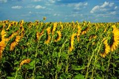 odpowiada burza słonecznika fotografia stock