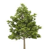 odpowiada odosobnionego klonowego drzewa biel Zdjęcie Stock