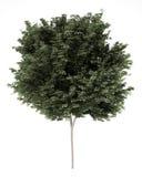odpowiada odosobnionego klonowego drzewa biel Zdjęcie Royalty Free