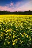 odpowiada oilseed nad gwałta zmierzchem Obraz Stock