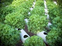 odpowiada sałaty nie glebowego use Obraz Royalty Free