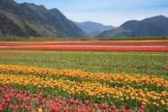 odpowiada tulipanu zdjęcie stock