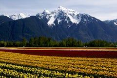 odpowiada tulipanu Zdjęcie Royalty Free