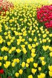 odpowiada tulipanu fotografia stock