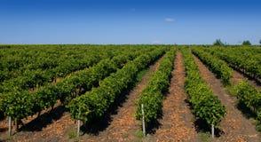 odpowiada winogradu Zdjęcia Stock