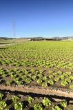 Odpowiada z sałaty plantacją Zdjęcie Stock
