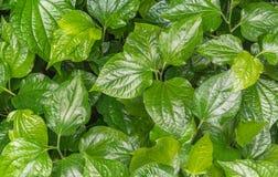 Odpowiedni łasowanie betlu liść jako medycyna obraz royalty free