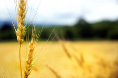 odpowiedz pszenicy zdjęcie stock