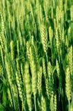 odpowiedz pszenicy zdjęcia stock