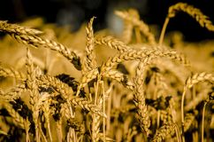 odpowiedz pszenicy Obraz Royalty Free