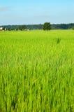 odpowiedz ryżu Zdjęcie Stock
