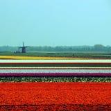 odpowiedz tulipanowego młyn zdjęcie stock