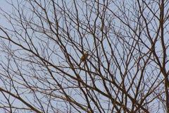 Odpowietrzający Bulbul ptak na więdnąć gałąź Obraz Royalty Free