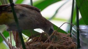 odpowietrzający Bulbul Pycnonotus Goiavier Karmi Nowonarodzonego kurczątka w gniazdeczku z insektem Ptak Daje jedzeniu Głodny Nes zdjęcie wideo