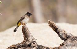 Odpowietrzający bulbul ptak Zdjęcie Royalty Free