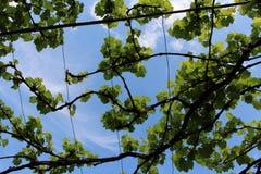Odrewniali winogrady up w niebie Zdjęcie Royalty Free