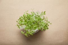 Odrośnięci sałatek ziarna, mikro zielenieją na brązu papieru tle obraz royalty free