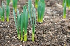 Odrośnięci wiosna kwiatów daffodils w wczesnej wiośnie uprawiają ogródek Zdjęcia Royalty Free