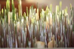 odrośnięta pszenicy Zdjęcia Royalty Free
