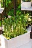 Odrośnięta soczysta zielona trawa w drewnianym garnku fotografia stock