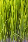 Odrośnięta wiosny trawa zdjęcie royalty free