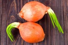 Odrośnięte cebule odizolowywać na drewnianym tle zdjęcie royalty free