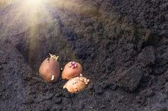 Odrośnięte grule na ziemi, agrarny tło Obrazy Royalty Free