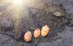 Odrośnięte grule na ziemi, agrarny tło Obraz Stock
