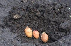 Odrośnięte grule na ziemi, agrarny tło Fotografia Royalty Free