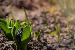 Odrośnięty hiacynt w wczesnym wiosna ogródzie pod ciepłym światłem słonecznym obrazy stock