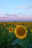 Odrobina Różowy niebo na Kolorado słonecznika polu obrazy royalty free