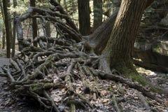 Odsłonięci drzewni korzenie w stary człowiek jamy terenie fotografia stock