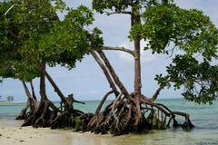 Odsłonięci korzenie zalewający drzewa obraz stock