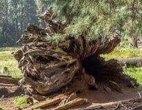 Odsłonięty drzewo korzeń zdjęcia royalty free
