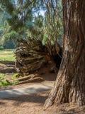 Odsłonięty drzewo korzeń obraz royalty free
