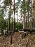 Odsłonięty drzewo zakorzenia opłatę glebowa erozja obraz stock