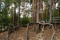 Odsłonięty drzewo zakorzenia opłatę glebowa erozja obraz royalty free