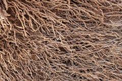 Odsłonięty korzeniowy system drzewko palmowe obraz royalty free