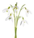 odseparowana śnieżyczka kwiat Fotografia Royalty Free