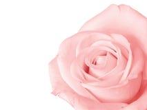 odseparowana różową różę Zdjęcia Royalty Free