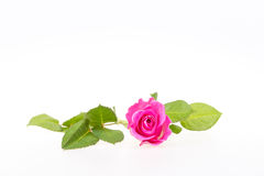 odseparowana różową różę Fotografia Royalty Free