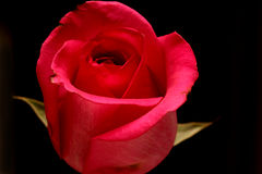 odseparowana różową różę Obrazy Royalty Free