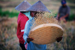 Odsiewów ryż Obraz Royalty Free