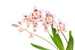 Odtdm. Mini Mutany 'Spring Fever' Stock Photos