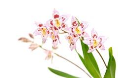 Odtdm. Mini Mutany 'Spring Fever' Stock Photos