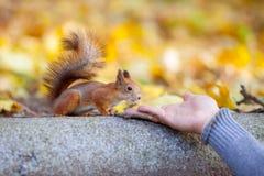 Odważna wiewiórka studiuje mężczyzna rękę Fotografia Royalty Free
