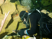 odważny nurka pielęgniarki rekin mały Zdjęcia Royalty Free