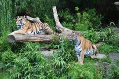 Odważni tygrysy Zdjęcia Stock