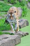 odważny tygrys Obrazy Royalty Free